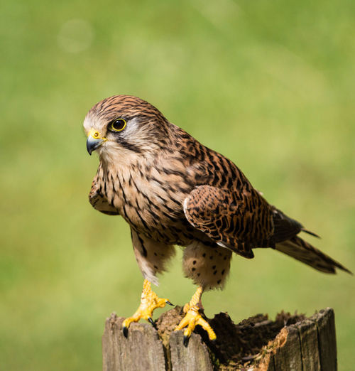 Close-up of hawk perching on wood