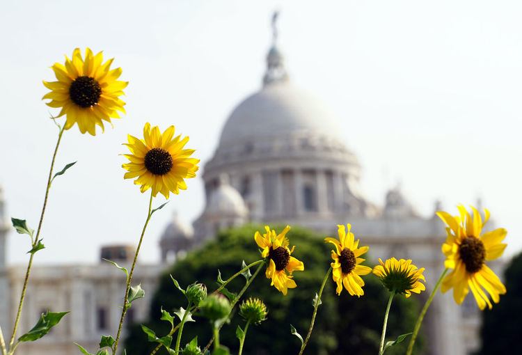 The sunflowers and Tomb of Victoria Memorial, Kolkata Sunflower Yellow Sunflower Sunflowers Sunflower And Victoria Memorial Kolkata Flowering Plant Flower Yellow Plant Freshness Growth Fragility Vulnerability  Petal Flower Head Inflorescence Beauty In Nature Nature Built Structure Focus On Foreground Architecture Building Exterior Close-up Sky No People Pollen Outdoors Springtime Flowerbed