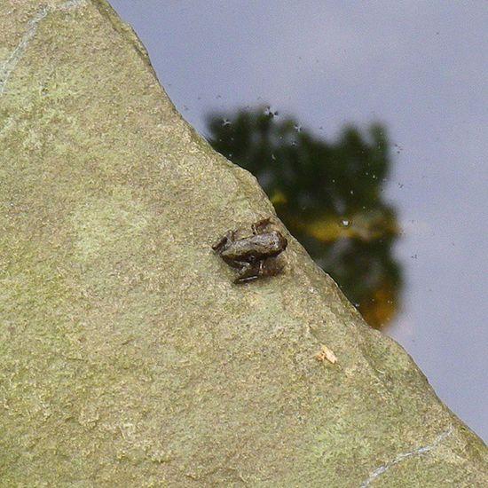 初上陸!? Tadpoles frog オタマジャクシ オタマジャクシ カエル