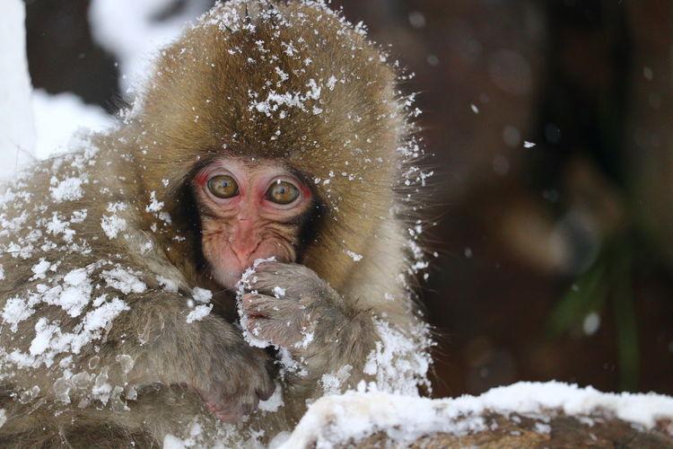 戌年の終わりにウッキー🐒 Portrait Water Looking At Camera Snow Winter Ape Cold Temperature Close-up Animal Eye Monkey