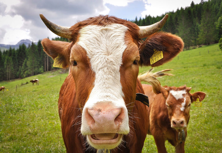 Portrait of cow on grassy field during sunny day