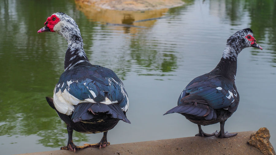 Two birds in a lake