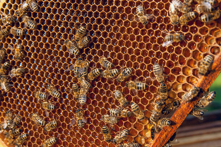 Animal Animal Themes Animal Wildlife Animals In The Wild APIculture Beauty In Nature Bee Beehive Close-up Group Of Animals Hexagon Honey Honey Bee Honeycomb Insect Invertebrate Large Group Of Animals Nature No People Pattern