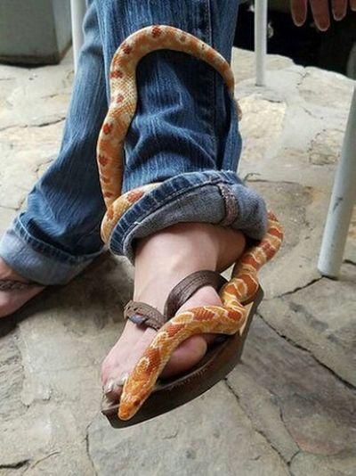 Rosencrantz Corn Snake Albino Corn Snake