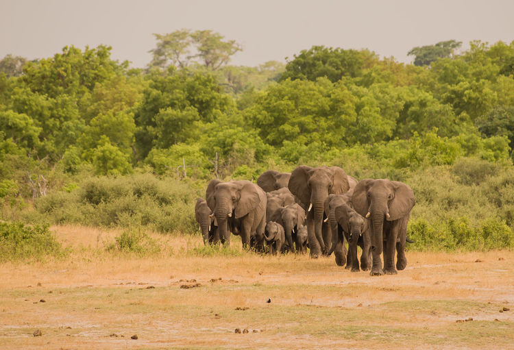 Elephants on field at national park
