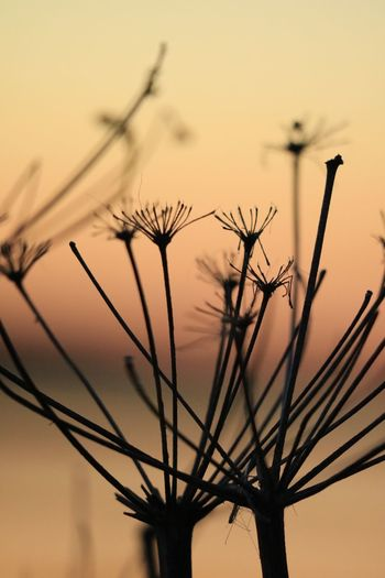 EyeEm Selects Sky No People Silhouette Plant Sunset Nature Beauty In Nature Growth Tree Tranquility Branch Scenics - Nature Outdoors Tranquil Scene Close-up Low Angle View Orange Color Dusk Focus On Foreground