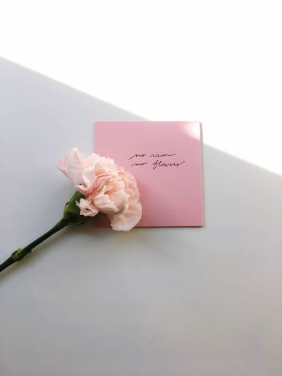 Close-up of pink rose against white background