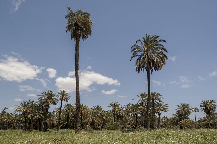 Elche 01 Panoramic View Tourist Attraction  Urban Exploration Urbanscape Cloud - Sky Day Field Grass Growth Low Angle View Nature No People Outdoors Palm Grove Palm Tree Scenics Sunny Day Tourism Tourist Destination Tranquil Scene Tranquility Travel Destination Viewpoint