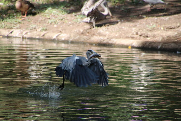 Bird perching on lake with fish