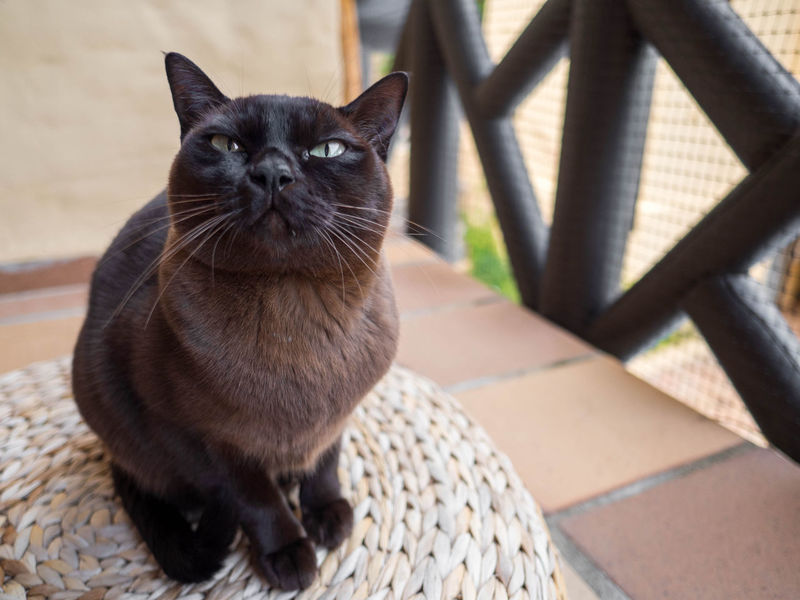 Animal Themes Brown Cat  Burmese Cat Close-up Day Domestic Animals Domestic Cat Feline Mammal No People One Animal Pets Portrait Whisker