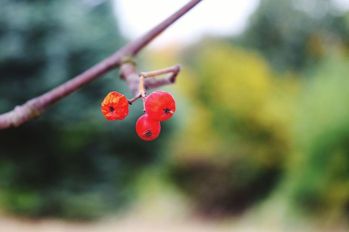 Fruit Red Close-up Focus On Foreground Nature Outdoors Season  Beauty In Nature How Is The Weather Today? Showcase October Autumn🍁🍁🍁 Autumn Is The Spring Of Winter 🍂🍁 Autumn 2016 October 2016 Get Closer