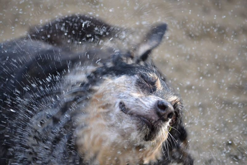 Close-Up Of Dog Shaking Water
