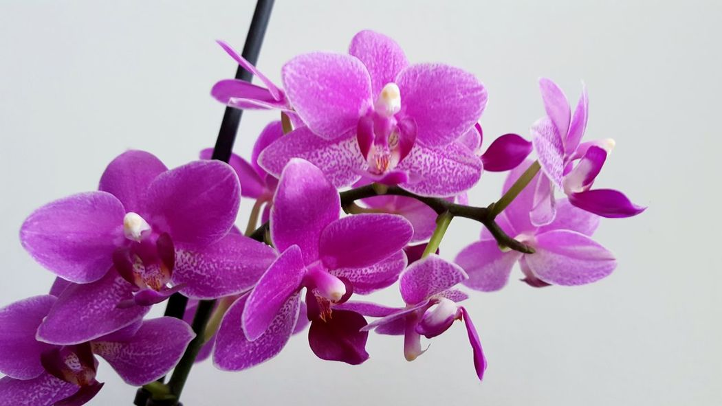 my purple orchids Love Purple Flowers Purple Flower Purple Orchid Purple Orchids House Plant Low Angle View Contrast Backgrounds Interior Decorating Flower Head Flower Orchid Pink Color Petal Close-up Plant Plant Life Blossom In Bloom Botany Pollen Lilac Purple Crocus Focus Summer Exploratorium Visual Creativity