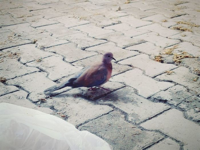 Güvercin Pigeon Bird Dove Animal Pigeons On The Road Tiled Garden Happy Day