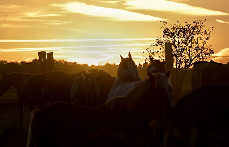 Silence is golden but my eyes still see (The Tremoloes) https://m.youtube.com/watch?v=n03g8nsaBro Horses Tranquil Scene Horse Photography  Sunset Sunset Sky Cloud - Sky Nature Silhouette No People Plant Sunlight Vertebrate Outdoors Beauty In Nature Tree Group Of Animals Panoramic Orange Color Mammal