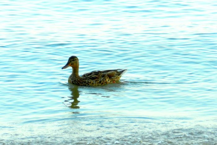 Cooling Off Animal Themes Beauty In Nature Bill Day Duck Feather  Feathers Female Duck Float Focus On Foreground Higgins Lake Mallard Duck Michigan Nature No People Outdoors Quack Quackers Rippled Speckled Swimming Tranquility Water Wet Wildlife