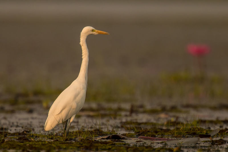 Egret perching in lake at sunset