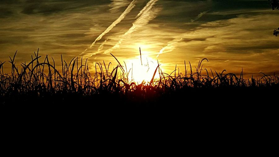 Corn Field Summer Sunset Virginia USA