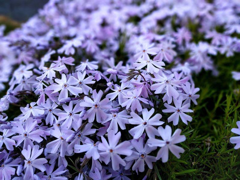 Flowers Flower Purple Fragility Beauty In Nature Nature No People Outdoors Beauty In Nature Nature_collection Flower Collection Flower Photography Flower Porn