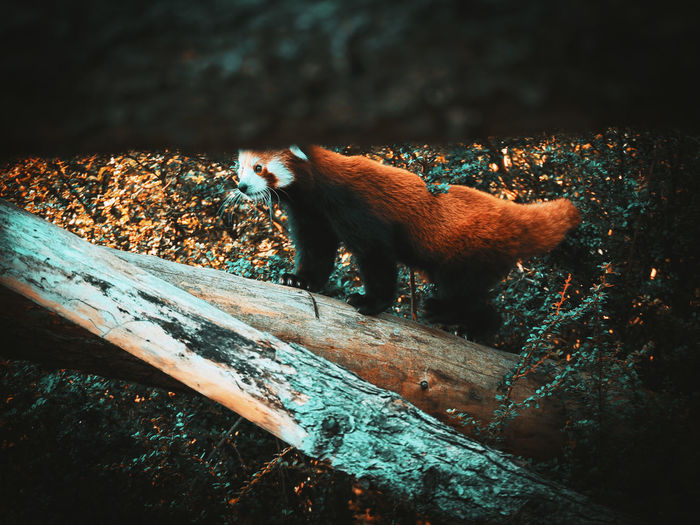 Red panda at woburn safari park