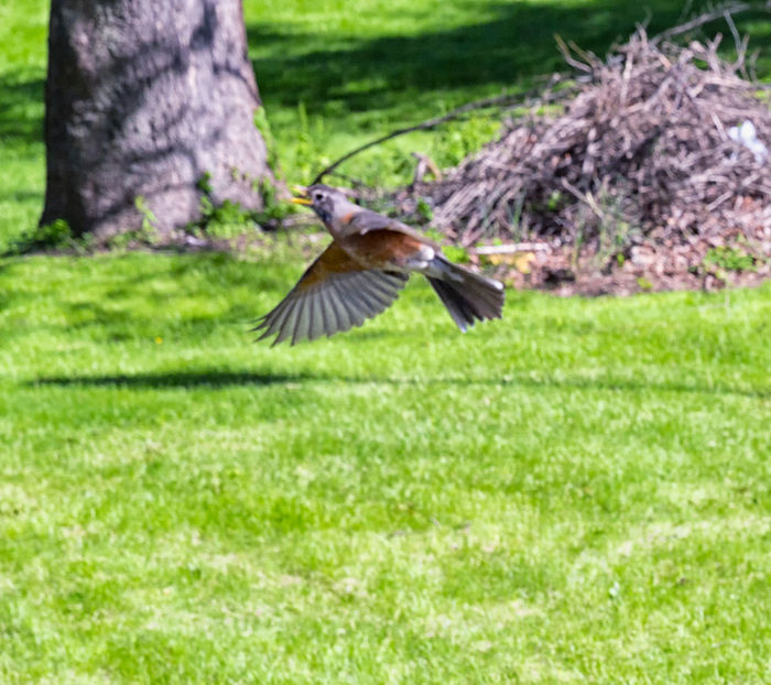 Mother robin in flight to protect her nest of 3 baby birds Bird One Animal Animal Themes Animals In The Wild Animal Wildlife Flying No People Nature Day Green Color Spread Wings Outdoors Grass Growth Beauty In Nature Close-up