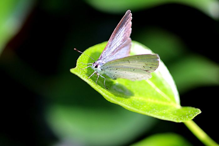 Butterfly Common Blue Butterfly Insect Animal Themes Animal Wildlife Animal Leaf Invertebrate Plant Part Close-up Focus On Foreground Butterfly - Insect Flower Beauty In Nature One Animal Animals In The Wild Animal Wing Nature Plant Outdoors No People