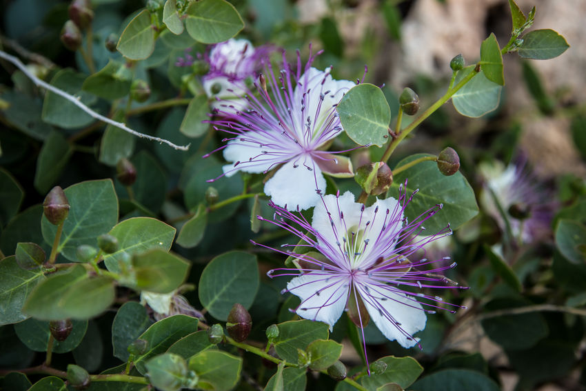 Flower Leaf Purple Nature Plant Outdoors Beauty In Nature Close-up Day Fragility No People Summer Multi Colored Living Organism Freshness Plant Part Flower Head Botanical Garden Caper Caper Flower Summer Exploratorium