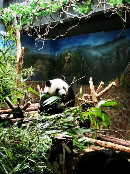 PANDA ♡♡ Panda - Animal Chengdu China
