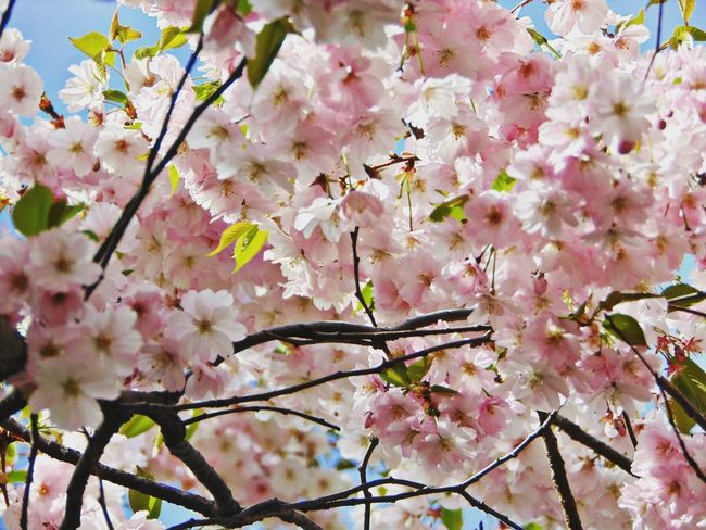 сакура Вишня дерево цветы лепестки красота Природа Folowme Flowers