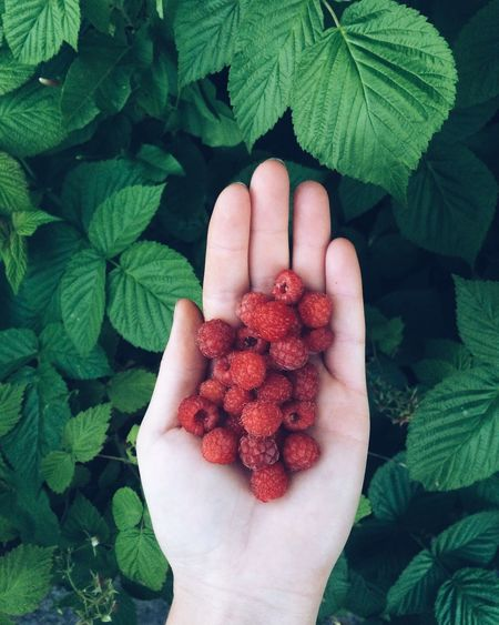 Cropped hand of woman holding raspberries over plants
