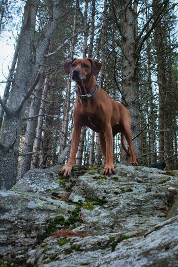 Dog Ridgeback One Animal Forest No People Nature Outdoors Day Rock Boulder Tree Mammal Low Angle View Autumn Domestic Animals Mountain Pet Pets Graceful
