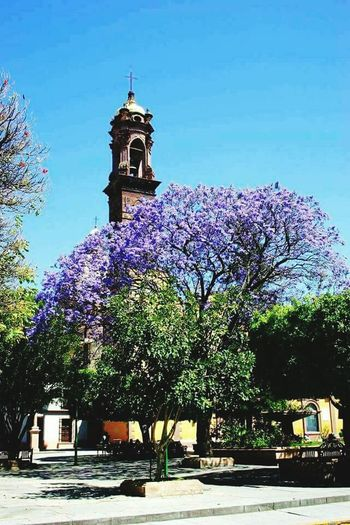 Jiquilpan de Juarez, Michoacán Sus Jacarandas en Marzo 😍🏵💜 Tree City Flower Clock Clock Tower Blue Place Of Worship History Sky Architecture