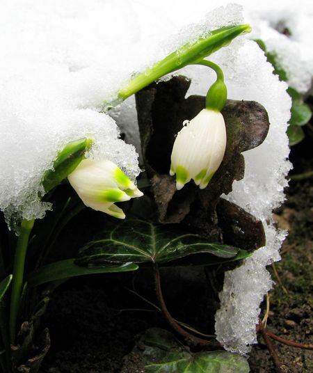 Transylvania Beauty In Nature Blooming Close-up Cold Temperature Day Flower Flower Head Flowers Fragility Freshness Growth Leaf Nature No People Outdoors Plant Snow Snowdrop Snowdrops White Color Winter