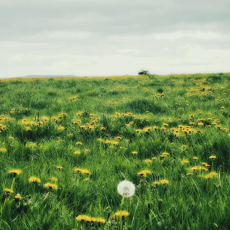 Dandelion field near Wilsden. EyeEm Nature Lover EyeEm Best Shots - Flowers Landscape #Nature #photography Spring Flowers