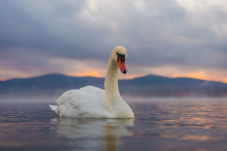 Animal Animal Neck Animal Themes Animal Wildlife Animals In The Wild Beauty In Nature Bird Cloud - Sky Lake Nature No People One Animal Sky Sunset Swan Swimming Vertebrate Water Water Bird Waterfront
