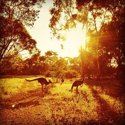 Another day, another mob of kangaroos (mob being the official collective noun). #roadtrip Roadtrip Lachlanpayneawesomeamazingphotosbestinstagramereverfollowmenow Lachlanpayne25 Payneroadtrip