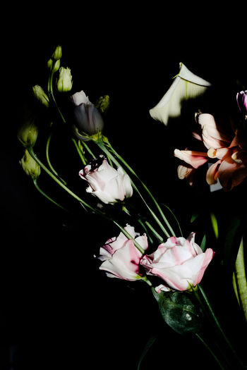 Beauty In Nature Black Background Close-up Colors Flower Flower Head Fragility Freshness Nature No People Studio Shot