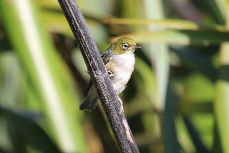 Silvereye (Zosterops lateralis) Animal Themes Bird One Animal Animals In The Wild Animal Wildlife Nature Perching No People Tree Day Close-up Outdoors Silvereye Waxeye New Zealand New Zealand Scenery