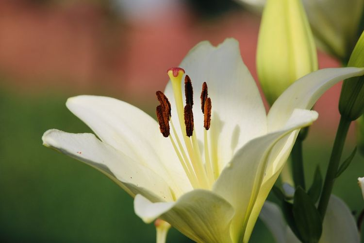 Close-up of white lily