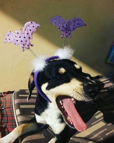 Nerocane Feroce Tremate tremate che Nerone è tornato Black Dog BlackDog Dogofhalloween Dogswannahavefun Dogs Funnydog Miamor Dogsofinstagram Dogstagram Dogs_of_instagram Halloween