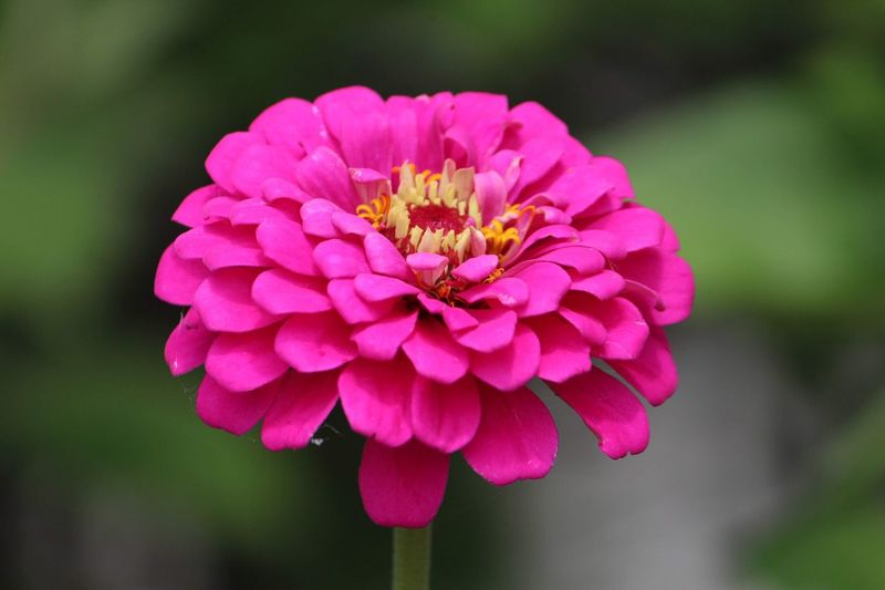 Flowering Plant Flower Vulnerability  Fragility Petal Plant Freshness Flower Head Beauty In Nature Close-up Pink Color No People Nature