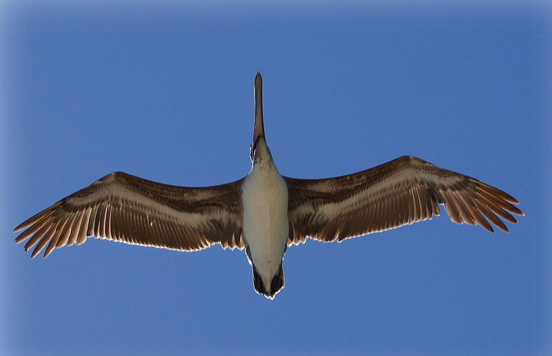 Soaring high Animal Themes Animal Wildlife Animals In The Wild Bird Bird Of Prey Clear Sky Close-up Day Flying Flying High Low Angle View Mid-air Nature No People One Animal Outdoors Pelican Pellican Sky Soaring Birds Spread Wings