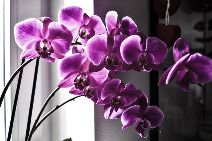 Flower Purple Petal Growth No People Pink Color Close-up Nature Orchid Plant Beauty In Nature Blooming Fragility Indoors  Freshness Day Flower Head