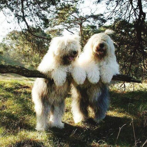 Bobtail Puppy Love Bobtails Dogslife Dogs Of EyeEm Dogs SweetLe Dogsareawesome