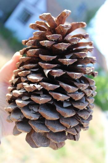Pinecones Brown