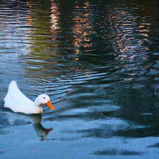 Duck Ordek Reflection Landscape Yansıma