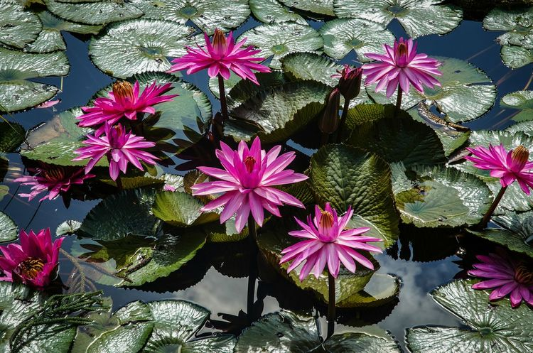 Pink Color Flower Head Water Lilies Lilly Pads Green Leaves Water Reflections Nikon D5100  EyeEm Flowers Collection