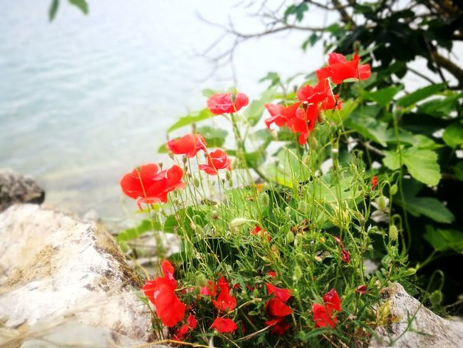 Rock Lake Flower Flower Head Red Summer Water Close-up Plant Poppy Petal