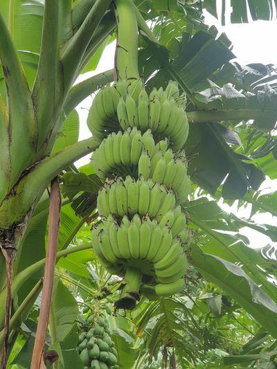 View of banana tree