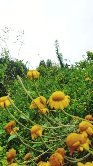 Close-up of yellow flowers blooming on field against sky